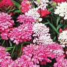 USA SELLER Pink Candytuft 50 seeds