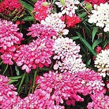USA SELLER Pink Candytuft 50 seeds