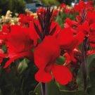 USA SELLER Canna Red 5 seeds