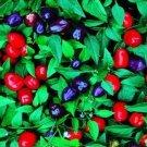 USA SELLER Filius Blue Ornamental Pepper 10 seeds