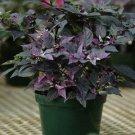 USA SELLER Purple Flashback Ornamental Pepper 10 seeds
