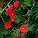 USA SELLER Red Cypress Vine 25 seeds