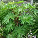 USA SELLER Castor Bean Zanzibar 10 seeds