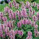 USA SELLER Pink Catmint 25 seeds