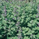 USA SELLER Catnip 25 seeds