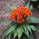 USA SELLER Cockscomb Orange 25 seeds