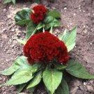 USA SELLER Cockscomb Red 25 seeds
