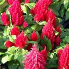 USA SELLER Celosia Glitters Scarlet 25 seeds