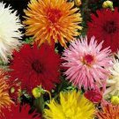 USA SELLER Cactus Dahlia Mix 10 seeds