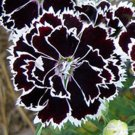 USA SELLER Heddewigii Dianthus 25 seeds