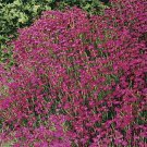 USA SELLER Maiden Pink Dianthus 100 seeds
