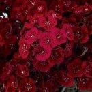 USA SELLER Barbatus Dunetti Dianthus 100 seeds