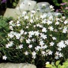 USA SELLER Maiden White Dianthus 100 seeds