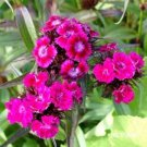 USA SELLER Barbatus Oeschberg Dianthus 100 seeds