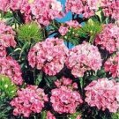USA SELLER Barbatus Pink Beauty Dianthus 100 seeds