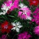 USA SELLER Superbus Fringed Hybrids Mix Dianthus 100 seeds