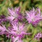USA SELLER Superbus Fringed Rose Dianthus 100 seeds