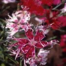 USA SELLER Superbus Fringed Spooky Mix Dianthus 100 seeds