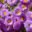 USA SELLER Erigeron Azure Fairy 25 seeds