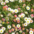 USA SELLER Erigeron Profusion 25 seeds
