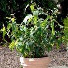 USA SELLER Eucalyptus Lemon Bush 5 seeds