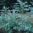 USA SELLER Eucalyptus Silver Drop 10 seeds