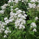 USA SELLER Boneset 100 seeds