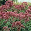 USA SELLER Joe Pye Weed 100 seeds