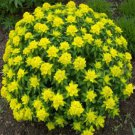 USA SELLER Cushion Spurge 10 seeds
