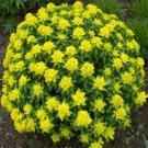 USA SELLER Cushion Spurge 10 seeds