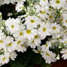 USA SELLER White Fairy Primrose 10 seeds