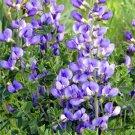 USA SELLER Blue False Indigo 10 seeds