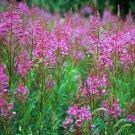 USA SELLER Fireweed 100 seeds