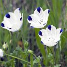 USA SELLER Five Spot (Nemophila Maculata) 100 seeds
