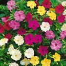 USA SELLER Four O'Clock Mix 25 seeds