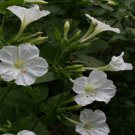 USA SELLER White Four O'Clock 25 seeds