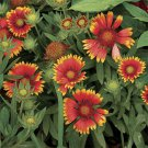 USA SELLER Blanket Flower 50 seeds