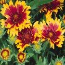 USA SELLER Indian Blanket 50 seeds
