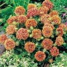 USA SELLER Blanket Flower  Sundance Bicolor 50 seeds