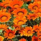 USA SELLER Gazania Garden Leader Bronze 10 seeds