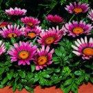 USA SELLER Gazania Garden Leader Pink 10 seeds