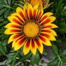 USA SELLER Gazania Garden Leader Red Striped 10 seeds