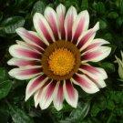USA SELLER Gazania Garden Leader Rose Striped 10 seeds