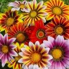 USA SELLER Gazania Garden Leader Striped Mix 10 seeds