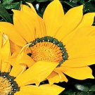 USA SELLER Gazania Garden Leader Yellow 10 seeds