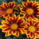 USA SELLER Gazania Kiss Golden Flame 10 seeds