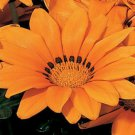 USA SELLER Gazania Kiss Orange 10 seeds