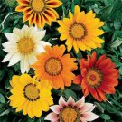 USA SELLER (Gazania Splendens 25 seeds