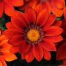 USA SELLER Gazania Red Shades 25 seeds