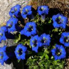 USA SELLER Stemless Gentian Blue 25 seeds